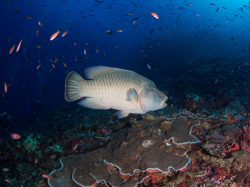 Huge Napoleon wrasse on Batu Bolong reef. Very large humphead wrasse, Cheilinus undulatus, visit Batu Bolong to take advantage of the numerous cleaning stations stock photography