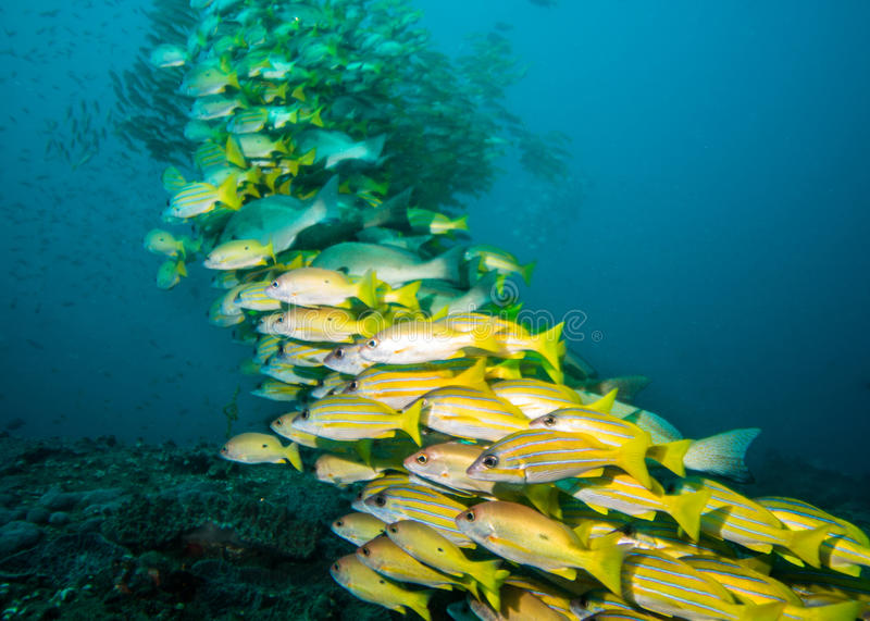 Very large school of snappers over the reef. royalty free stock images