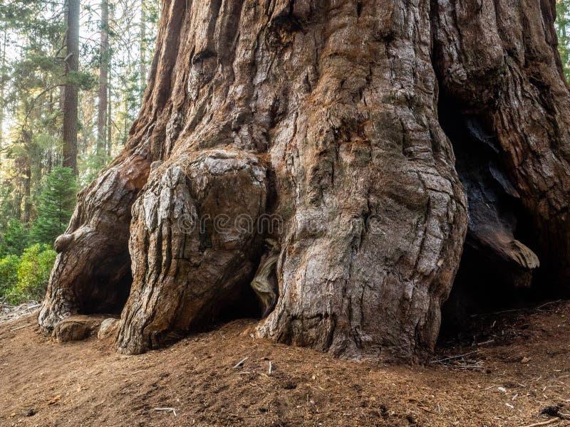 Sequoia tree trunk stock images