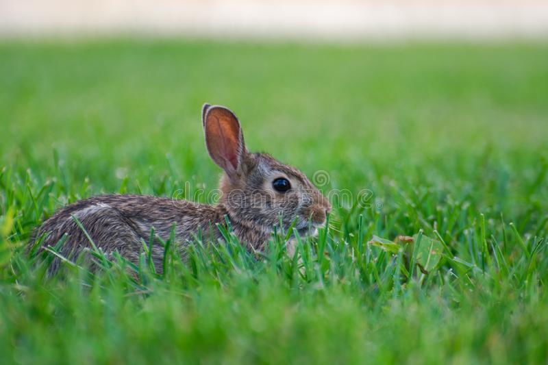 A very little cute wild rabbit in the backyard stock images