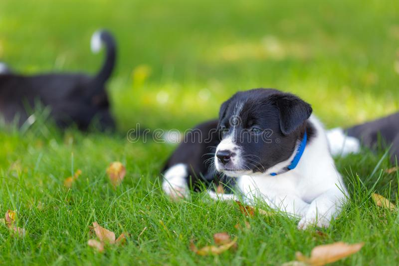 Very little puppy is running happily with floppy ears trough a garden with green grass stock photography