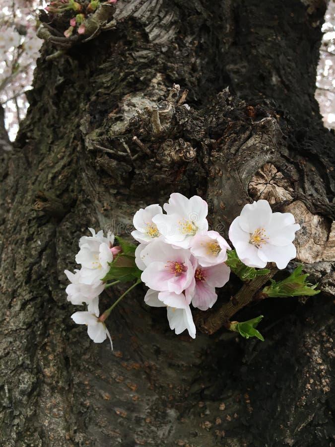 very lovely sakura royalty free stock photo