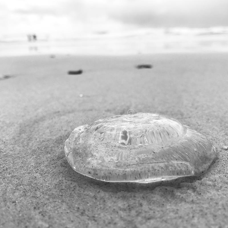 Very low angle shot of a see-through jellyfish on the beach. Low angle shot in black-and-white of a see-through, transparent jellyfish on the sandy beach with a stock photography