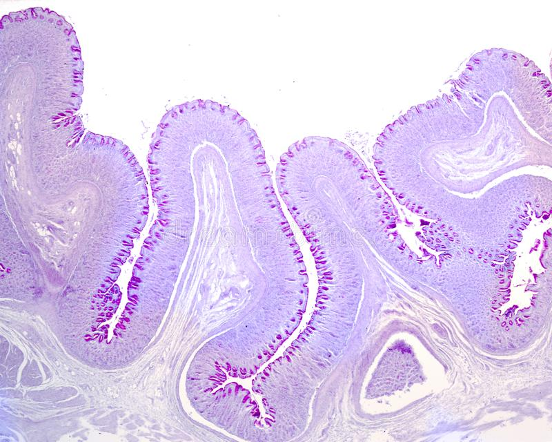 Gastric mucosa. PAS stain. Very low magnification image of the gastric wall. The inner layer is the mucosa that show many folds. In the axis of these folds is royalty free stock photos