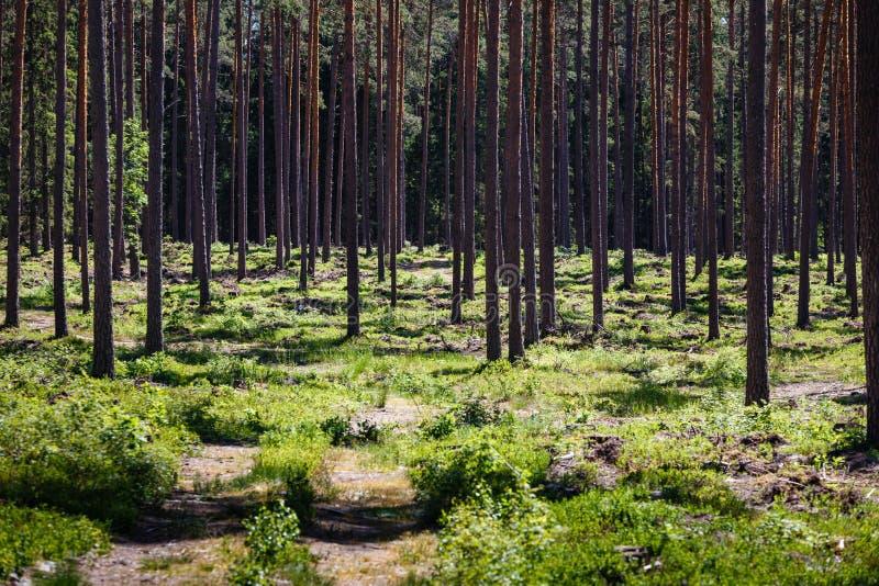 Very many pine tree trunks royalty free stock photos