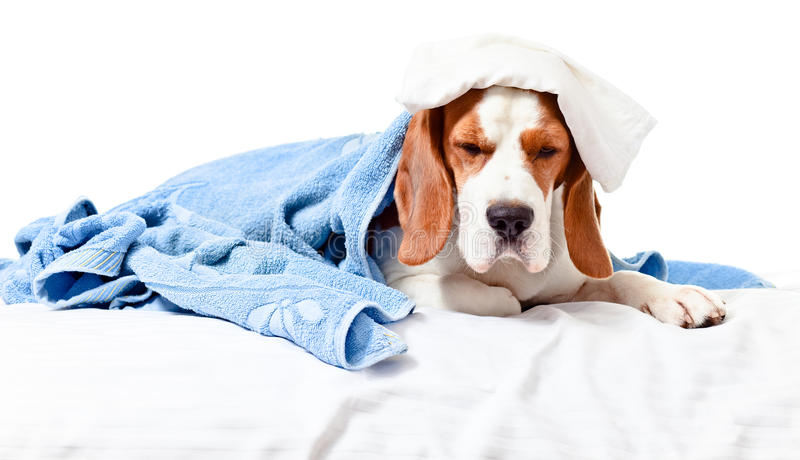 Very much sick dog on white background royalty free stock photography