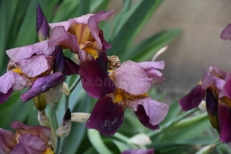 Very pretty colorful iris in my garden stock images