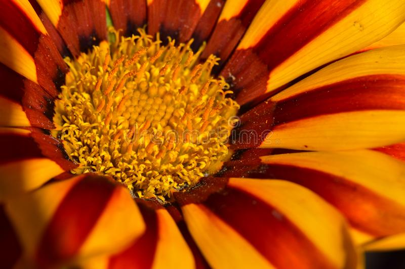 Very nice colorful flower close up in my garden stock photos