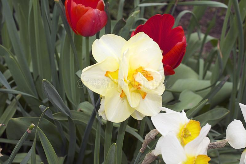 Very nice colorful spring flowers in my garden. In the sunshine at my home royalty free stock images