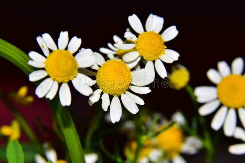 Very nice colorful weed  flower close up in my garden stock photos