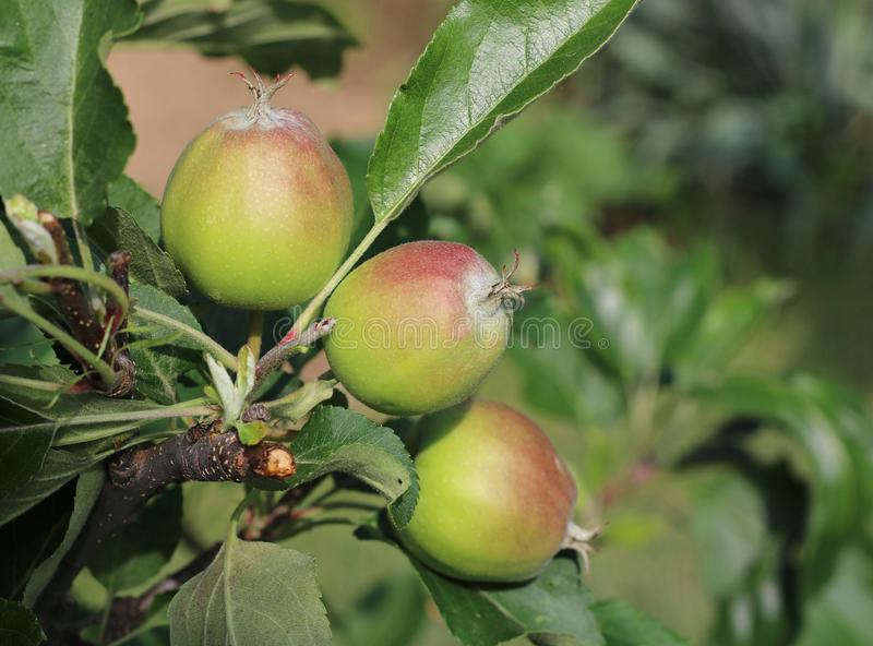 Very nice green apples mature in the summer and in the autumn. Home garden royalty free stock image