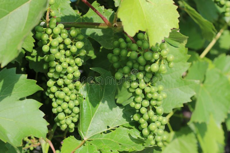 Very nice green grapes mature in the summer and in the autumn. Home garden royalty free stock image