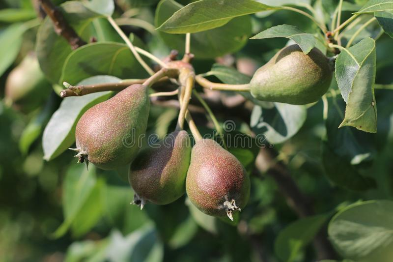 Very nice green pears mature in the summer and in the autumn. Home garden stock photo