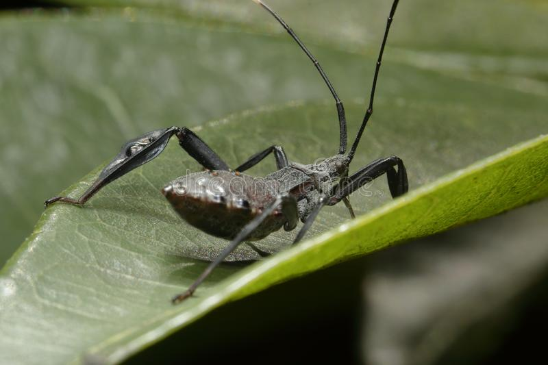 Black insect hunter found walking on a leaf. stock photo