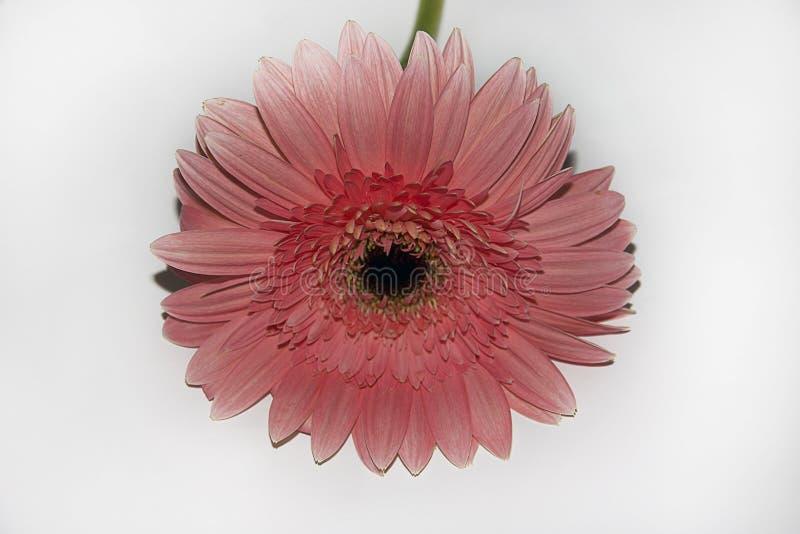 Very nice pink gerber close up stock image