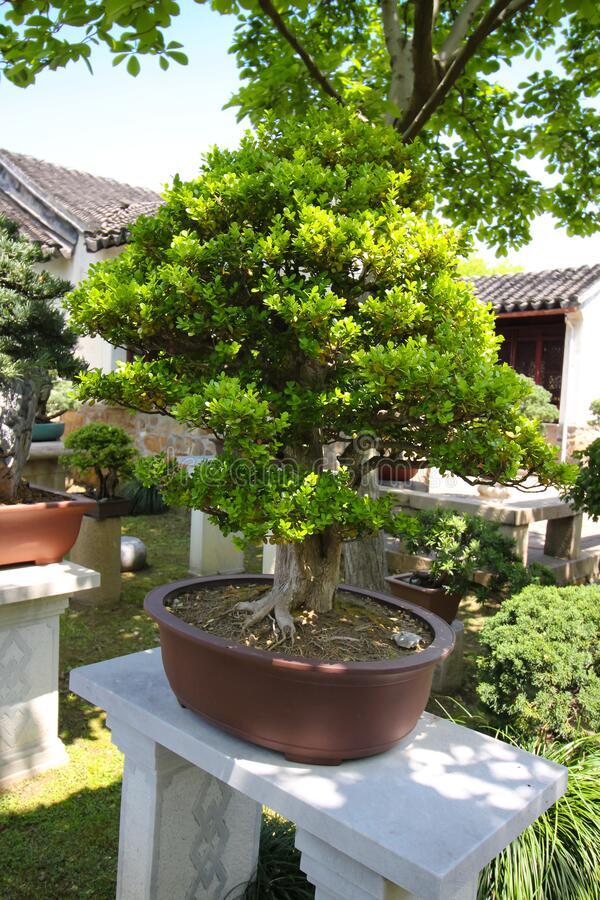 Very old Bonsai tree in garden in Shanghai, China royalty free stock photos