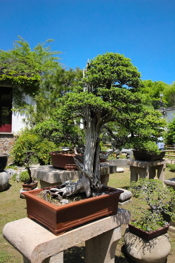 Very old Bonsai tree in garden in Shanghai, China stock photography