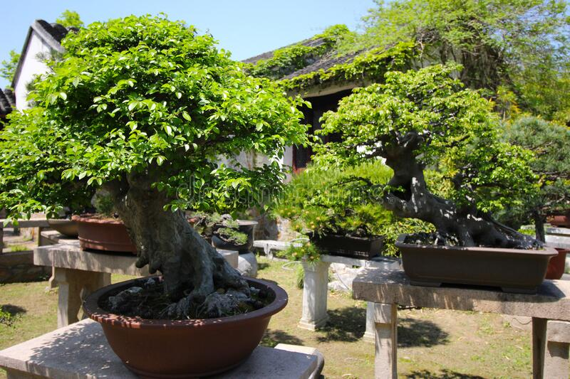 Very old Bonsai tree in garden in Shanghai, China royalty free stock images