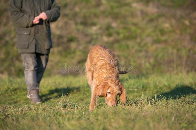 Very old Magyar Visla is following a track. Magyar Vizsla 13 years old - Old dog is sniffing in the grass and follow a track royalty free stock images
