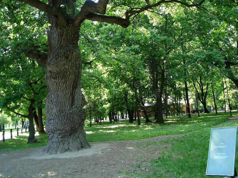 Very old oak tree royalty free stock photo