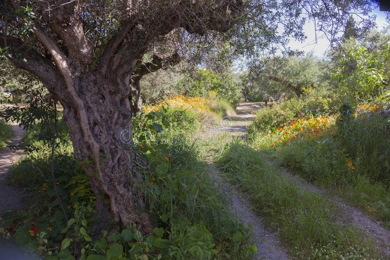 Download Very Old Olive Tree And Flowers In Garden In Greek Village Of Ka  Stock Photo