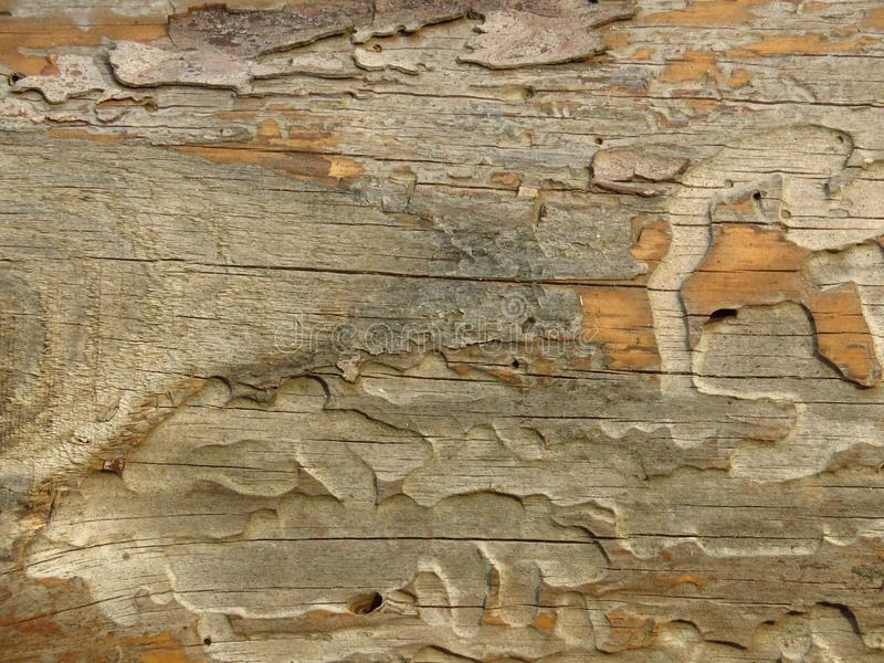 Very old plank of aged wood weathered by time and eaten by wood worms. Cracked wood board. stock photo