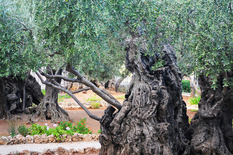 Download Very old tree stock photo. Image of nature, tourism, uncommon - 39512422
