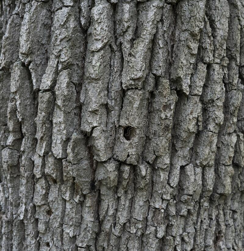 Very Old tree bark texture background royalty free stock photography