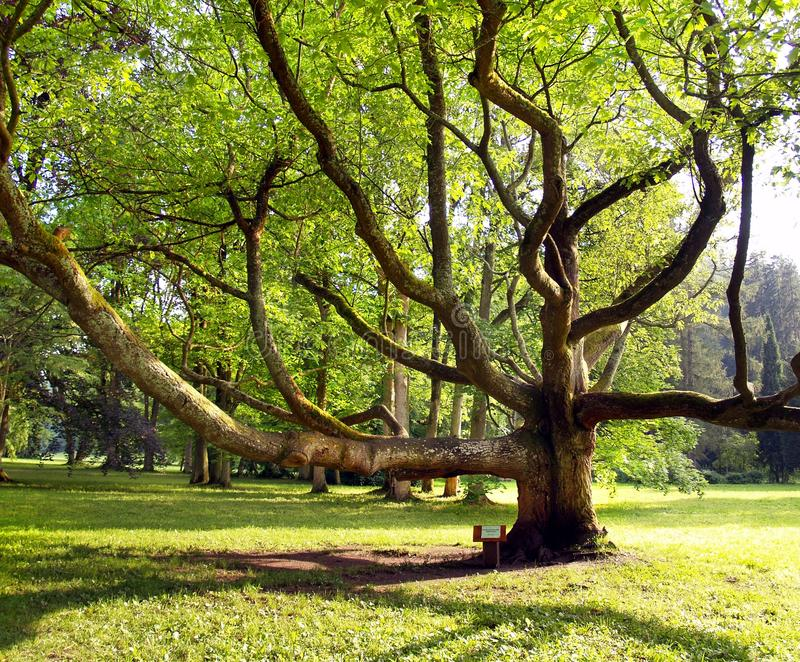 Very old tree in the park. A view of the park and very old tree royalty free stock images