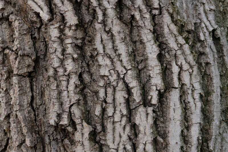 Very old walnut tree crust, wood texture. Very old walnut tree crust, with lot of detail, and great texture royalty free stock photo