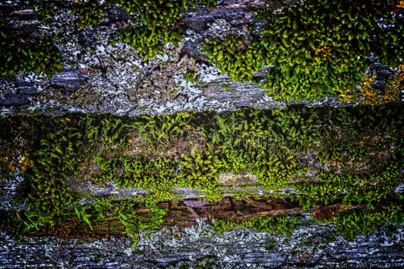 Very old weathered rustic wood texture with moss and cracks on t. He surface as background stock photo