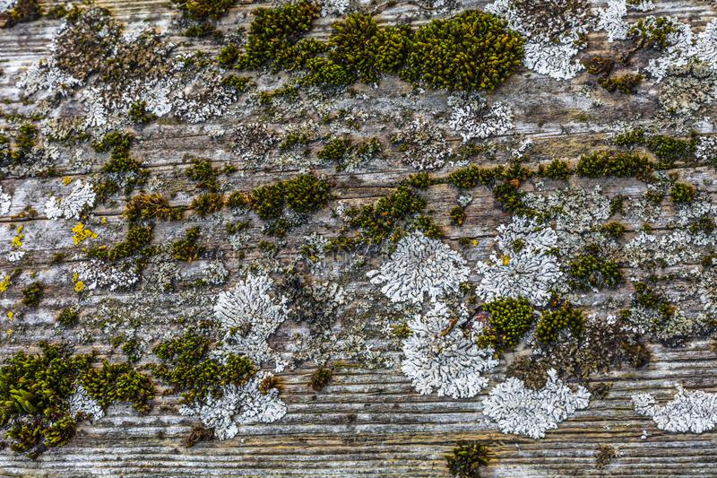 Very old weathered rustic wood texture with moss and cracks on t royalty free stock photos