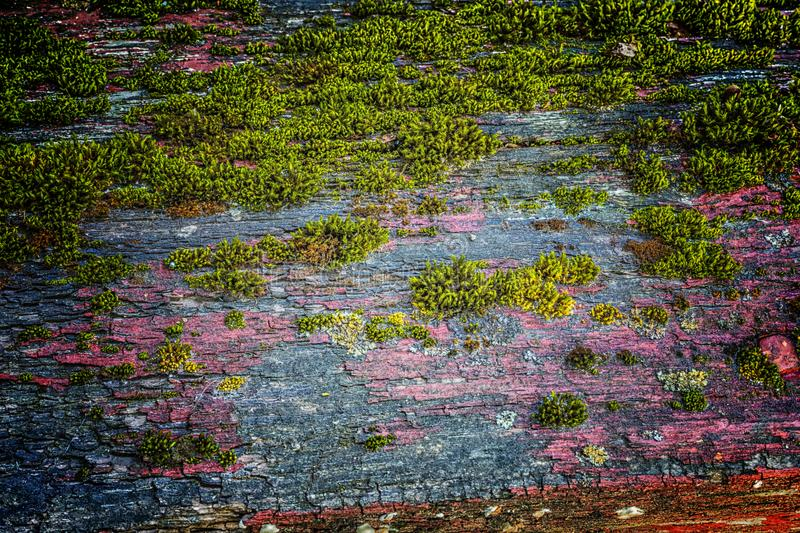 Very old weathered rustic wood texture with moss and cracks on t stock photography