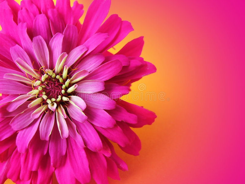 Download Very Pink stock image. Image of allergies, petals, cheerful - 1124111