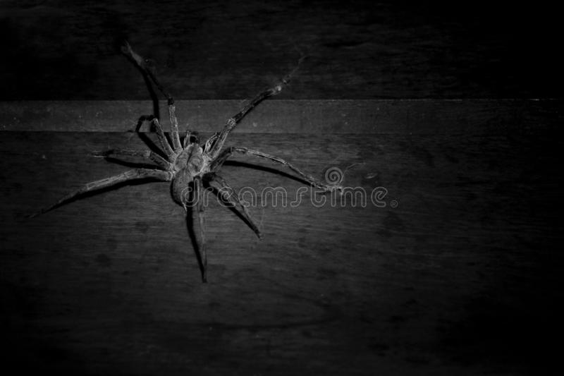 Very poisonous big spider on a wooden wall royalty free stock photography