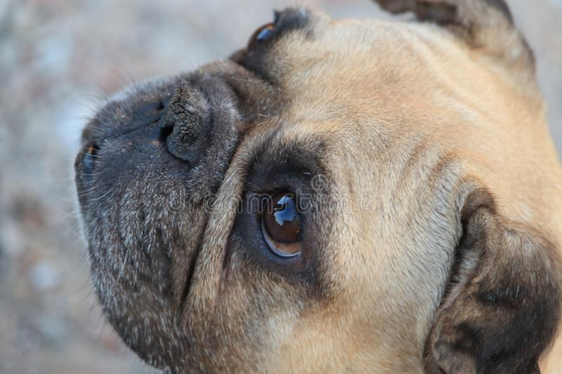 Cute brown french bulldog puppy with beautiful eyes royalty free stock photography