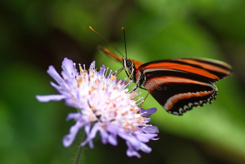 Very pretty butterfly on purple flower royalty free stock photo