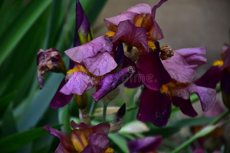 Very pretty colorful iris in my garden royalty free stock photos