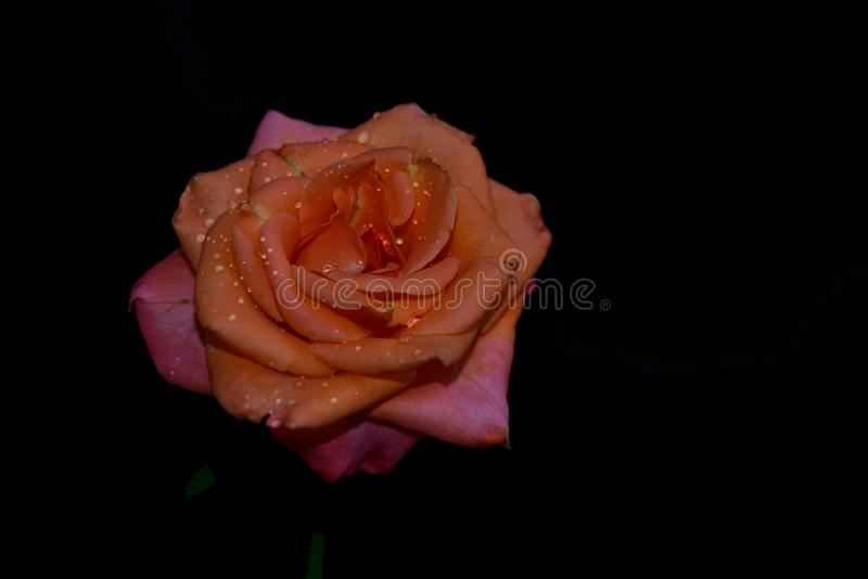 Very pretty colorful rose close up stock photo