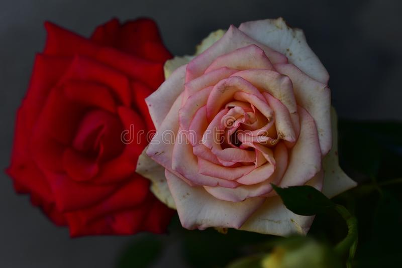 Very pretty colorful rose close up stock photography