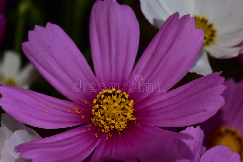 Very pretty colorful summer flower close up stock photo