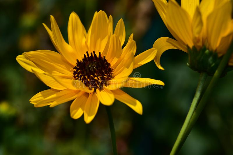 Very pretty colorful summer flower close up royalty free stock photo