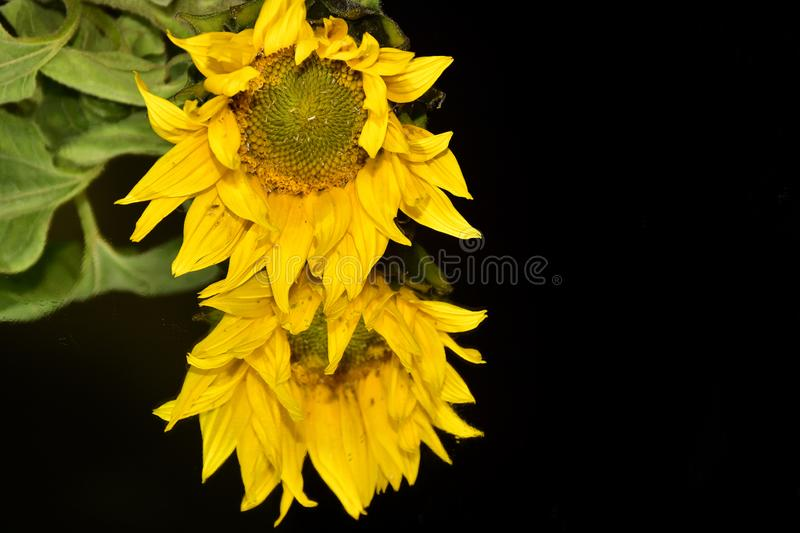 Beautiful sunflower close up on the mirror royalty free stock image