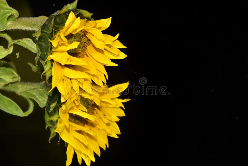 Beautiful sunflower close up on the mirror stock photo