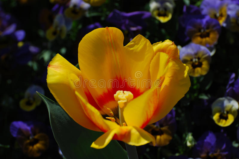Very Pretty Flowering Yellow Tulip with a Red Center royalty free stock photos