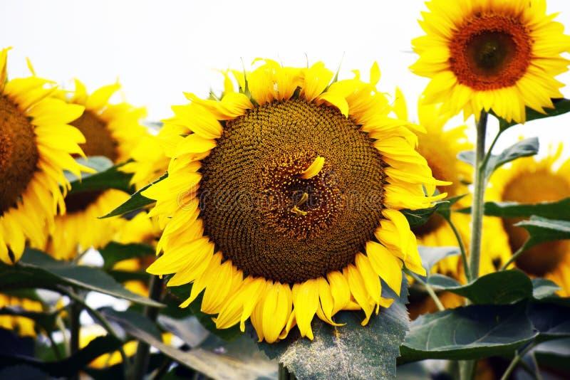 Very pretty sunflowers field in the sunshine stock photo