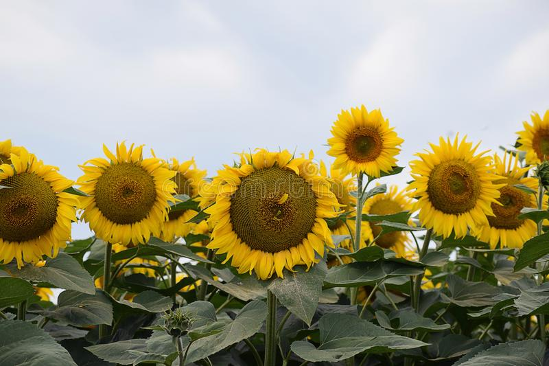 Very pretty sunflowers field in the sunshine royalty free stock image