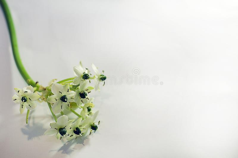 Very pretty white small flowers close up stock photo