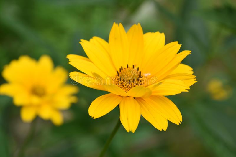 Very Pretty Yellow False Sunflower Blooming in a Garden stock photos