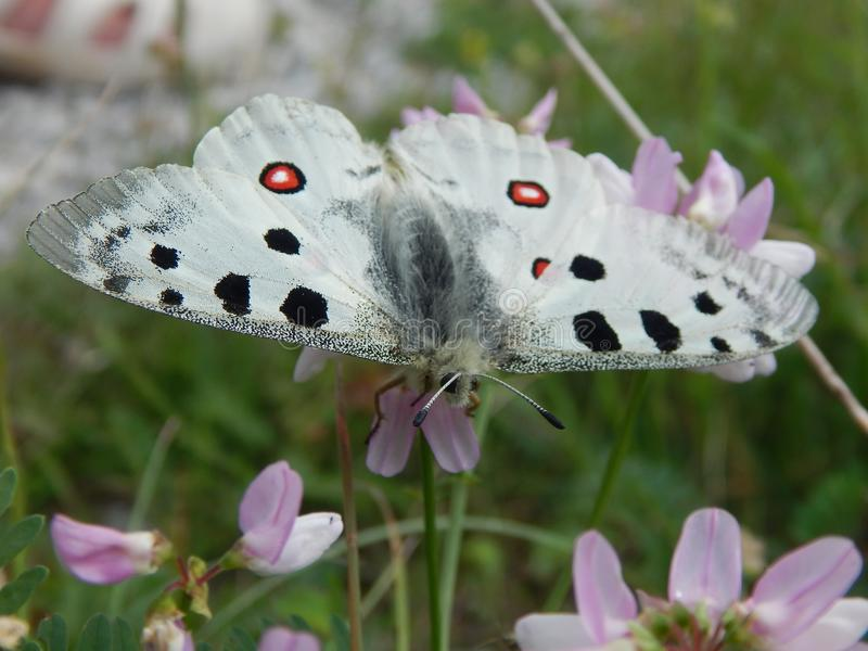 Very rare butterfly Parnassius apollo. It is a large butterfly that lives in alpine ecosystems, especially on mountain rocky slopes, and is found throughout royalty free stock image
